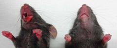 赤色蛍光強発現TGマウス